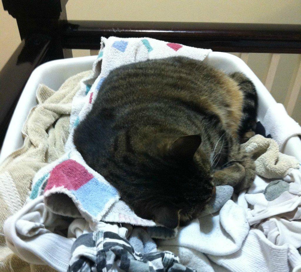 cat laundry