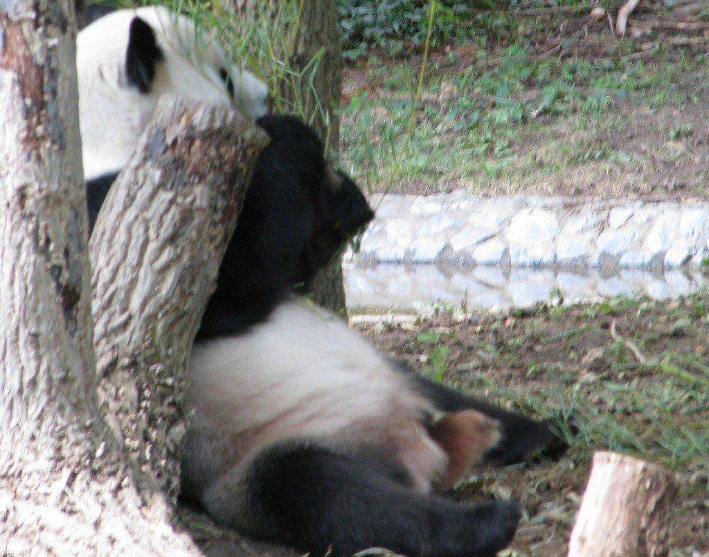 smithsonian panda